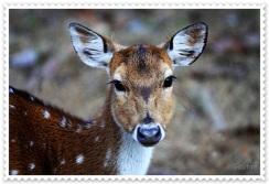 Bandhavgarh Deer