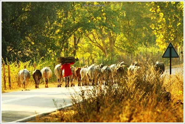 Family Scenes-Cows on Bandhavgarh Jabalpur Road