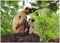 Omkareshwar Parikrama - Monkeys