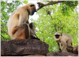 Omkareshwar Monkeys on Parikrama