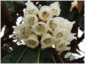 Goechala-Rhododendron