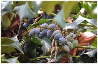 Goechala-Wild Berries