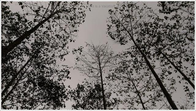 Sandakphu_Trek_Forest