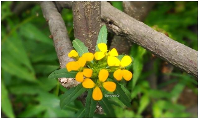 Rupin Pass Himachal Flowers